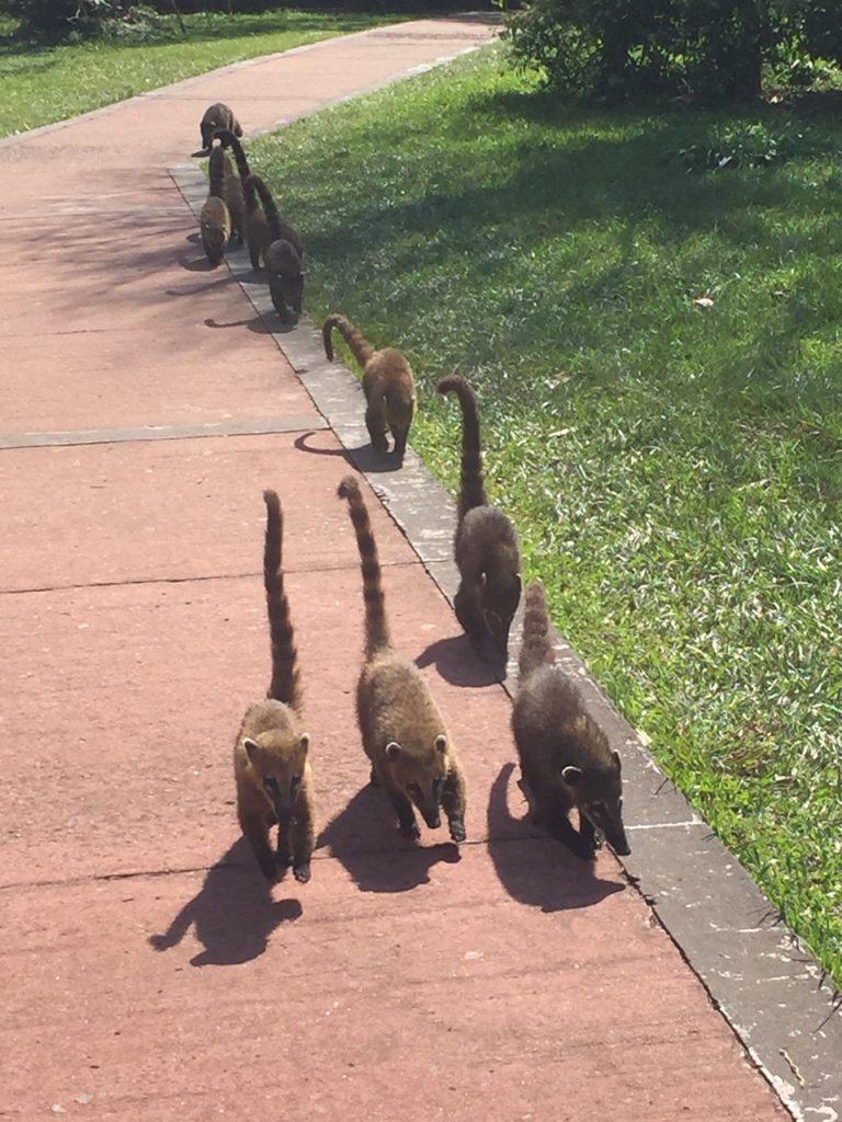 groupe de coatis à Iguazu