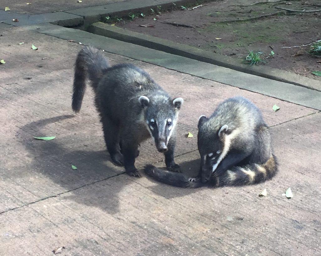 2 coatis à Iguazu